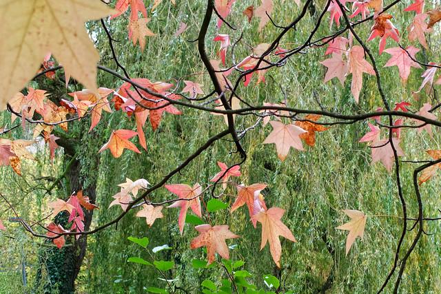 Acer (maple - érable) & Salix babylonica (Weeping willow - saule pleureur)