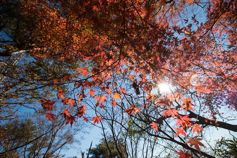 金時山の紅葉