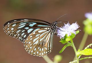 Dakhan Dark Blue Tiger