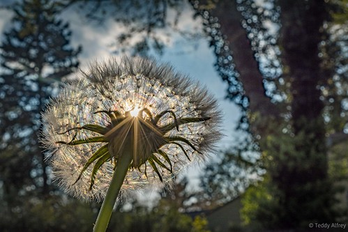 dandilion sunset garden nature