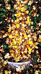 Autumn Explosion ... #leaves #fall #colorsofautumn #pipe #explosion #blast #iphone7 #autumnleaves #grass #sundaymorning #morning #perugia #italy #nature Autumn Leaf Change Nature Leaves Beauty In Nature Day Fallen Dry Outdoors Yellow Abundance Maple Leaf