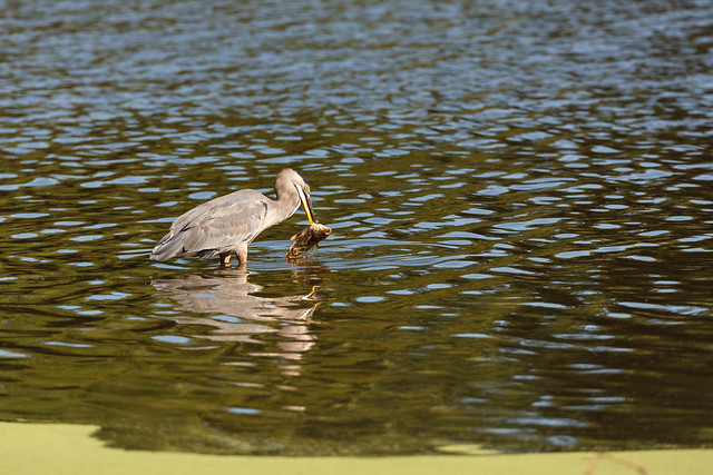 Great Blue Heron With Freshwater Drum