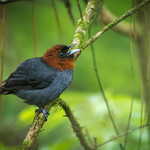 Chestnut-headed Tanager