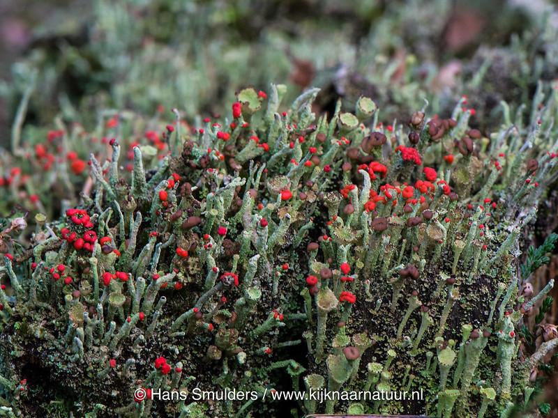 Lucifermos (Cladonia floerkeana)-617_0969-bewerkt