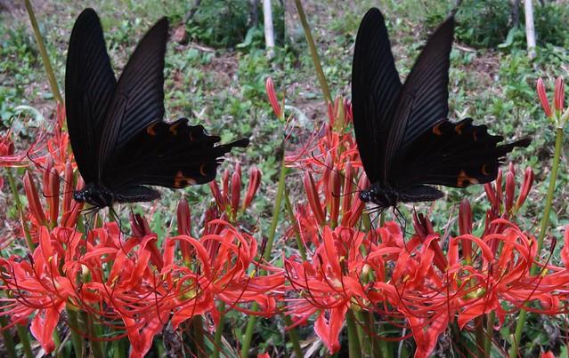 Papilio protenor, stereo cross view