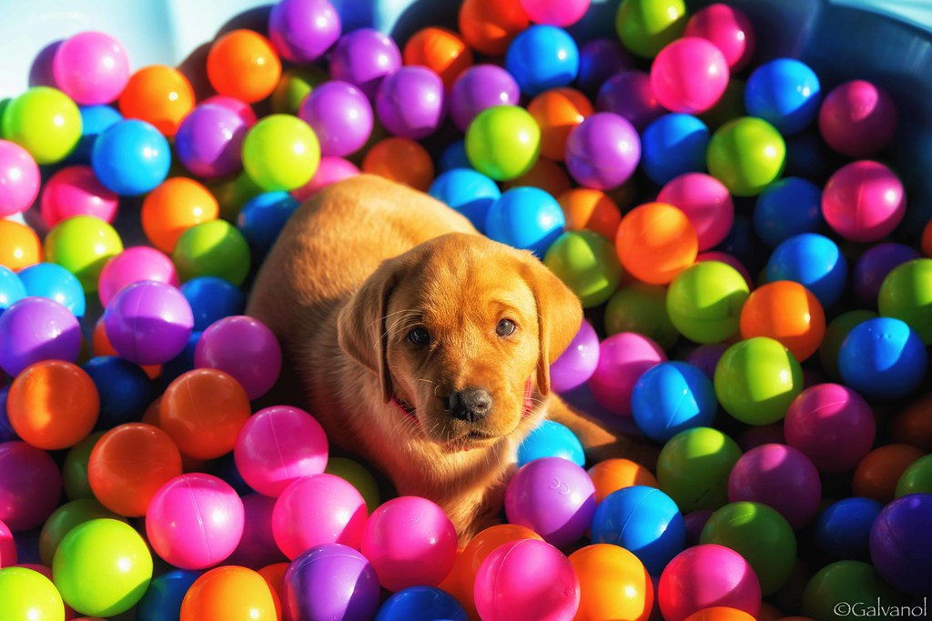 Image result for dog in ball pool