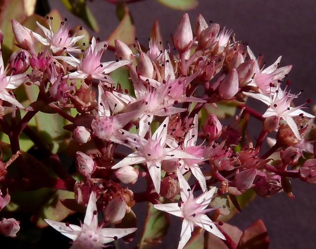 Hylotelephium tatarinowii