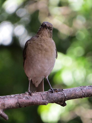 Mirla Embarradora, Zorzal Piquinegro, Black-billed Thrush, Turdus ignobilis | by cirestrepo
