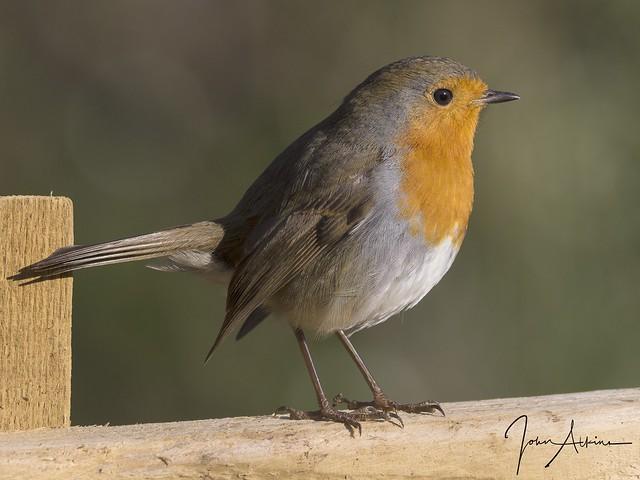 Robin at Nene Park 12/11/17.