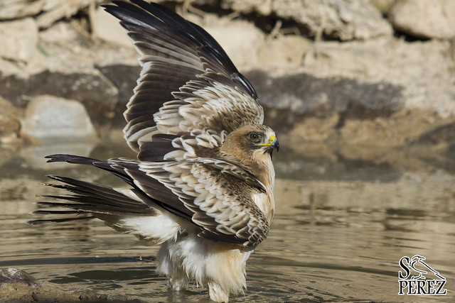 Aquila pennata