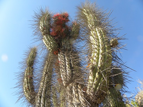 acida cacti cactus chile coquimbo eulychnia fnrrb2166 ka3252s kakteen kaktus montepatria rb2166 reise standort topxpflanze