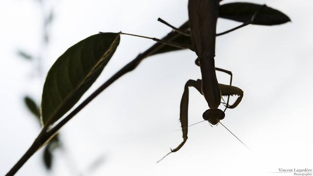 Mantis upside down
