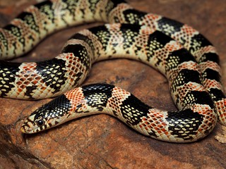 Western Long-nosed Snake (Rhinocheilus lecontei) | by NicholasHess