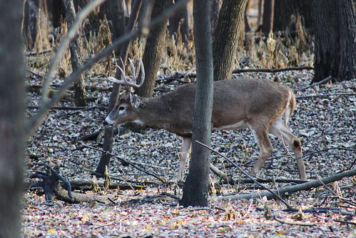 White-tailed deer | by U.S. Fish and Wildlife Service - Midwest Region
