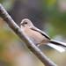 ベニマシコ(Long-tailed Rosefinch)