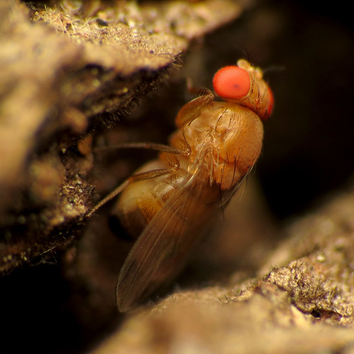 Spotted-winged Drosophila | by treegrow