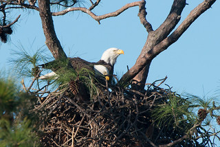 Bald Eagles | by stephaniepluscht