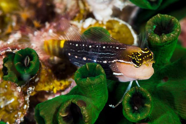 Pictus Coralblenny - Ecsenius pictus