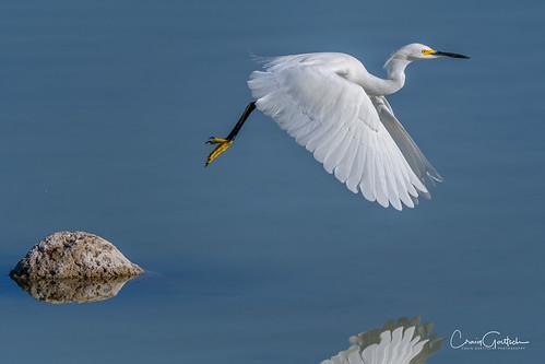 snowyegret blue bird avian animals wildlife nature nikon d500