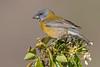Cometocino de Gay hembra - Grey-hooded Sierra-Finch female (Phrygilus gayi)