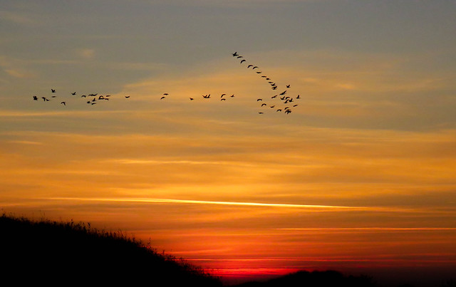 Geese flyover at sunset