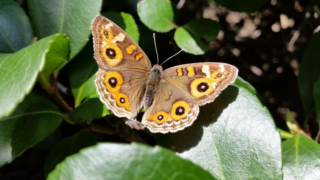 Meadow Argus Butterfly, Meadowbank, NSW, 12th August, 2016