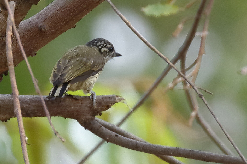Bar-breasted Piculet_17-09-22_Picumnus aurifrons