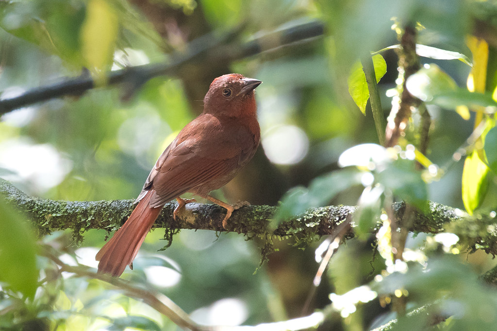 Red-crowned Ant Tanager (Habia rubica) - male