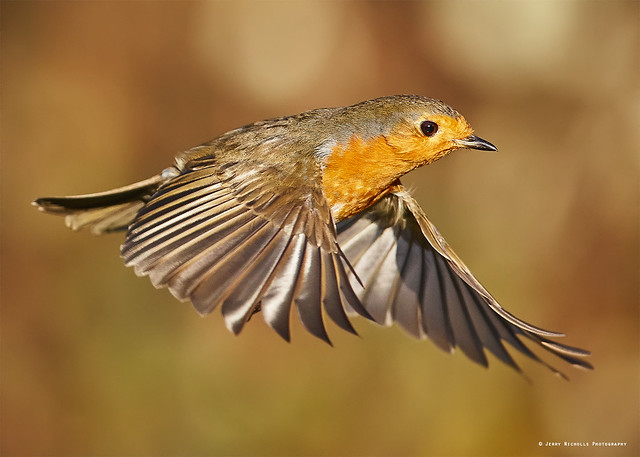 Robin red breast In flight