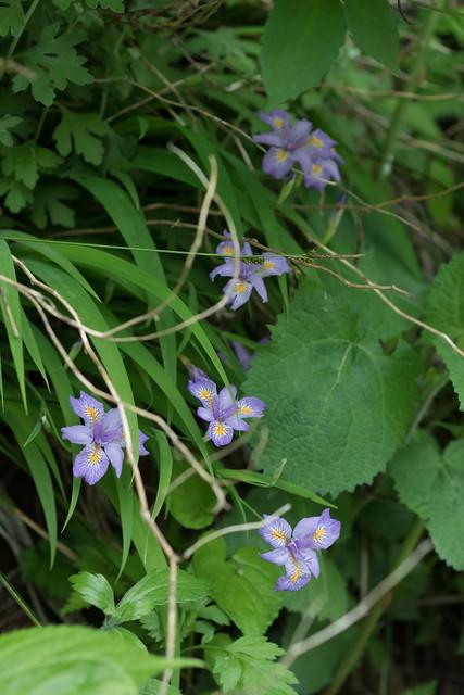 Iris gracilipes