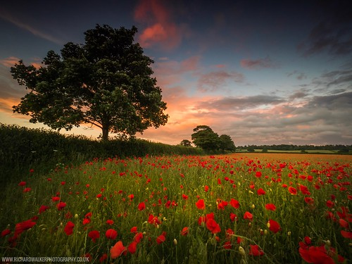 poppies landscape sunset nature poppy tree landscapephotography clouds oxfordshire remembrance summer lonetree sky