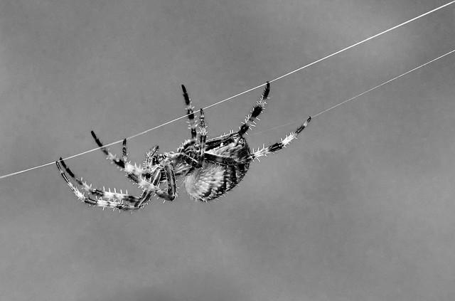 Spider towline