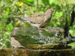 Mourning Dove, Armstrong Twp., Indiana Co., PA