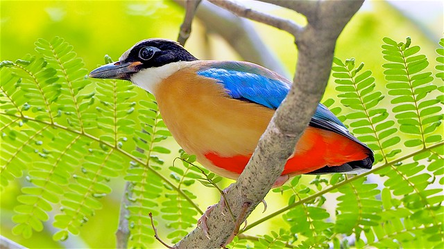 Winter Visitor: Blue Winged Pitta