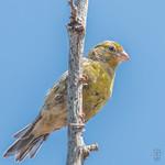 Island Canary (Serinus canaria), female-4029