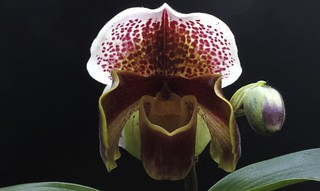 Paphiopedilum Cocoa Red | by W. Pfennig