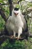 Spizaetus melanoleucus by Rowe.fotografia