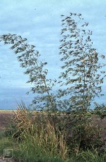 Bamboo, Cornish coast near Montego Bay