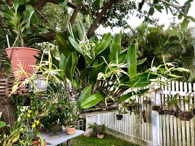 Epidendrum ciliare is flowering