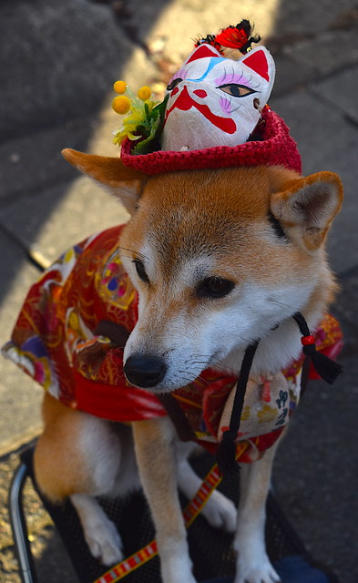 Japanese Dog gets into the Festive Spirit