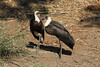 Ciconia episcopus ♂ ♀ (Woolly-necked Stork) - South Africa by Nick Dean1