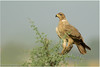 Tawny Eagle by Aravind Venkatraman