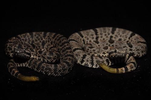 Crotalus lepidus morulus | by markusOulehla