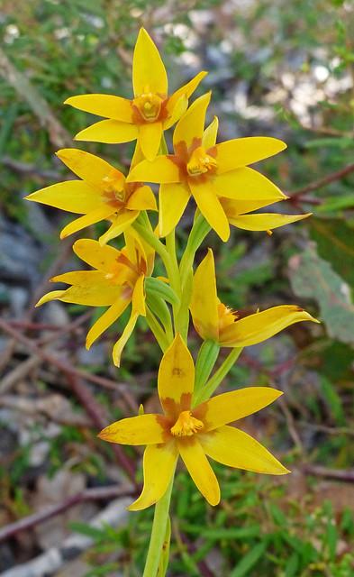 Cinammon Sun Orchid - Thelymitra dedmaniarum