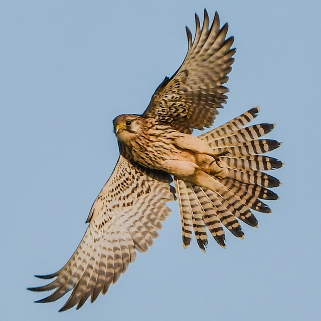 kestrel showing off his feathers