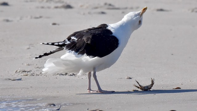 Crab cake time (Greater Black-backed Gull)