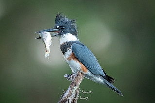 female belted kingfisher in early morning. | by spensered