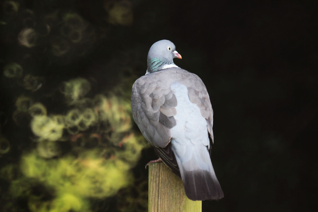 a pigeon on a pole