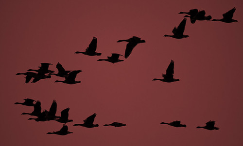 evening formation flock od geese goose flyby pass red sky