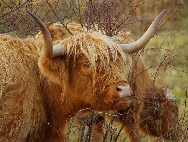 Highland cattle sheffield (1)